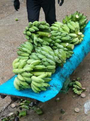 广西壮族自治区百色市靖西县西贡蕉  七成熟 越南
