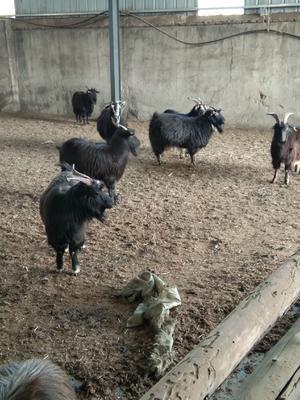 山东省潍坊市潍城区黑山羊 50-80斤