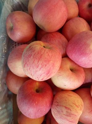 甘肃省陇南市礼县红富士苹果 75mm以上 条红 纸袋