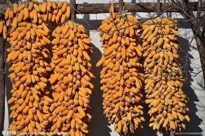 吉林省白山市浑江区玉米湿粮 杂质很少 水份20%-30%