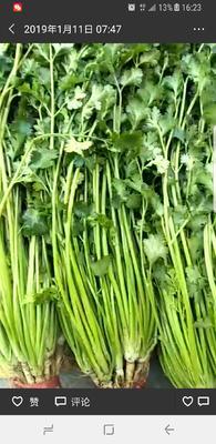 山东省潍坊市安丘市铁杆青香菜 50cm