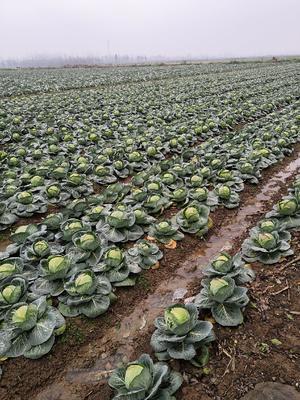 湖南省岳阳市君山区绿园4号包菜 1.5~2.0斤