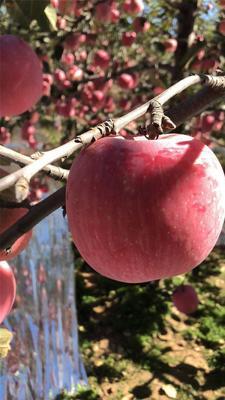 陕西省西安市雁塔区冰糖心苹果 70mm以上 日晒面 纸+膜袋