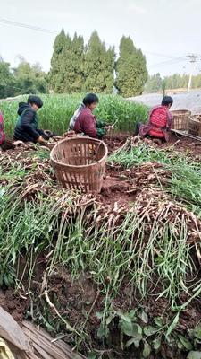 这是一张关于红芽姜 混装通货 带土 的产品图片