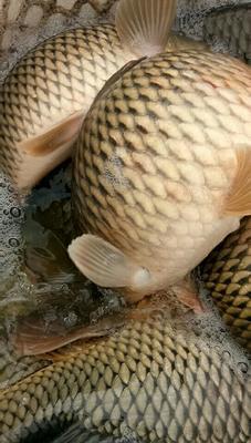 云南省红河哈尼族彝族自治州弥勒市水库鲤鱼 人工养殖 1-2.5公斤