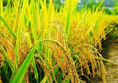 天津津南区 稻花香大米 一等品 晚稻 粳米
