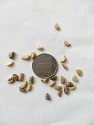 山东省济南市历城区墨西哥玉米草