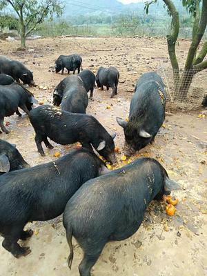 广西壮族自治区桂林市恭城瑶族自治县环江香猪 140斤以上