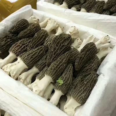 四川省阿坝藏族羌族自治州小金县干羊肚菌 箱装 半年