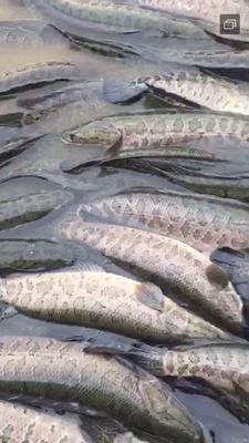江西省上饶市鄱阳县乌鳢 人工养殖 1-1.5公斤