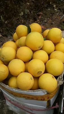 福建省厦门市湖里区卡拉卡拉脐橙 90-95mm 4-8两