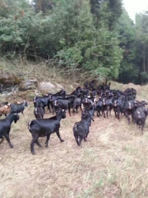 重庆万州区黑羊  30-50斤 大小都有