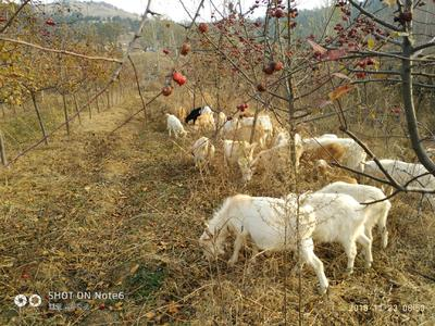 山东省青岛市平度市山羊 50-80斤