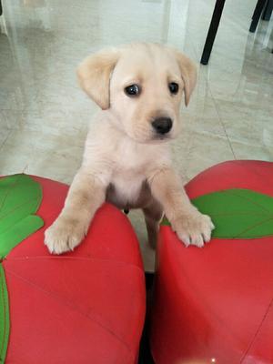 山东省济宁市汶上县拉布拉多犬