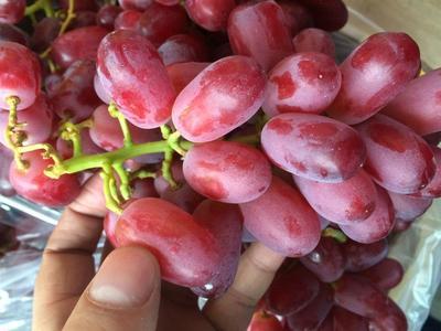 广东省广州市白云区无籽葡萄  0.8-1斤 5%以下 1次果 南非红提 原箱9斤