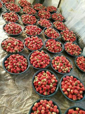 浙江省杭州市建德市巧克力味草莓 20克以上
