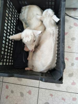 吉林省吉林市舒兰市奶山羊 30斤以下