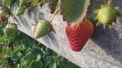 辽宁省大连市中山区九九草莓 30克以上