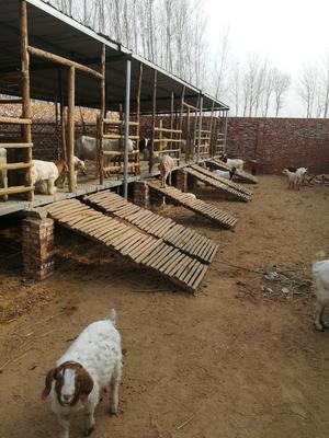河北省邯郸市馆陶县波尔山羊 30-50斤
