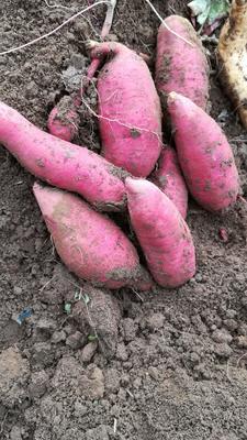 广西壮族自治区贺州市八步区蜜薯 2两以下 红皮