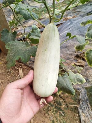 山东省聊城市莘县博洋61甜瓜 1斤以上