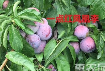 四川省眉山市东坡区凤凰李 25 - 30mm