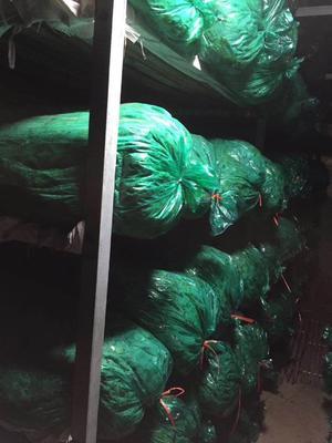 山东省青岛市平度市铁杆青香菜 55cm