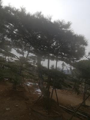 山东省淄博市沂源县造型松树