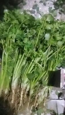 山东省滨州市惠民县小叶香菜 25~30cm