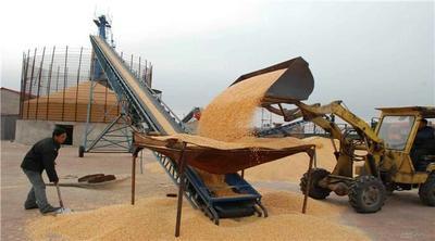 河南省濮阳市华龙区玉米干粮 净货 水份14%-16%
