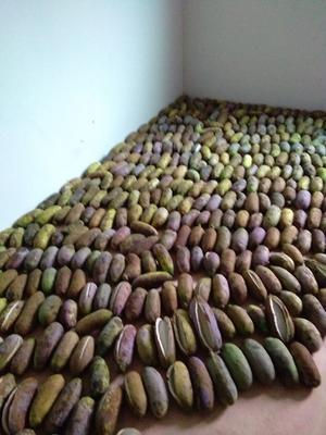 湖南省湘西土家族苗族自治州古丈县天紫二号八月瓜 150g以上 种植