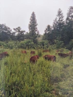 湖南省湘西土家族苗族自治州吉首市土黄牛 200-300斤 母牛