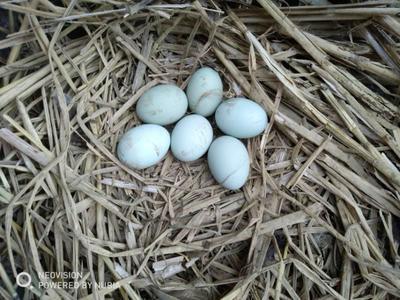 贵州省黔东南苗族侗族自治州黎平县土鸡蛋 孵化 散装