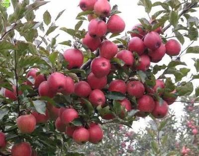 山东省临沂市平邑县矮化短枝富士苹果苗 0.5~1米