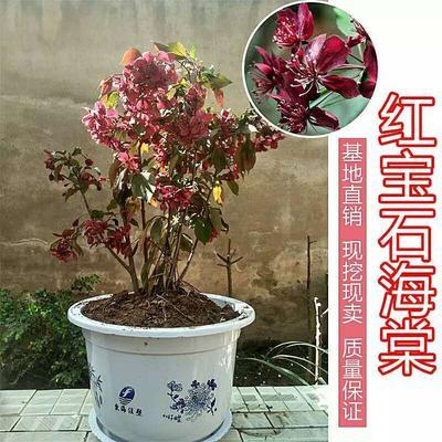 陕西省西安市周至县红宝石/红叶海棠