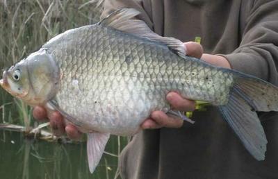 重庆永川区池塘鲤鱼 人工养殖 0.5-2.5公斤