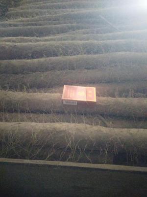 灞变笢鐪佽亰鍩庡競鑾樺幙鐧界帀灞辫嵂 70~90cm