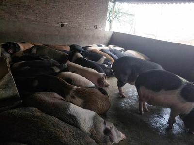 广西壮族自治区桂林市七星区黑猪 300斤以上