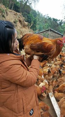 广东省茂名市信宜市土鸡  4-5斤 统货 光鸡