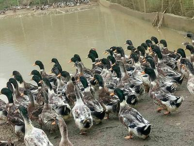 广西壮族自治区南宁市隆安县青头鸭 5-8斤