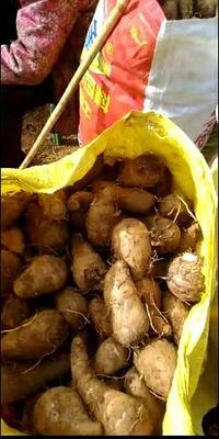 四川省攀枝花市米易县红芽芋 2cm以上