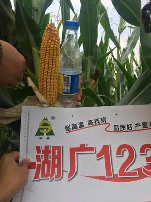 安徽省阜阳市临泉县湖广123 双交种 ≥95%