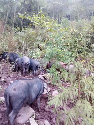 四川省乐山市市中区生态土黑毛猪 160-200斤