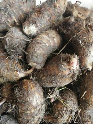 福建省三明市尤溪县红芽芋 2cm以上