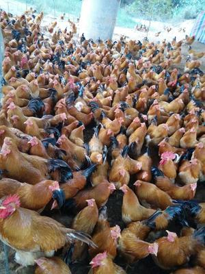 这是一张关于阉鸡 7-8斤 公 的产品图片