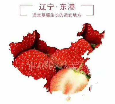 辽宁省丹东市东港市九九草莓 30克以上