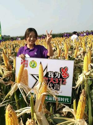 安徽省阜阳市临泉县农大372 双交种 ≥95%
