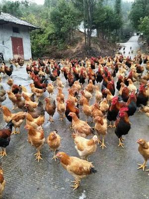 江西省宜春市万载县灰色珍珠鸡 2-4斤
