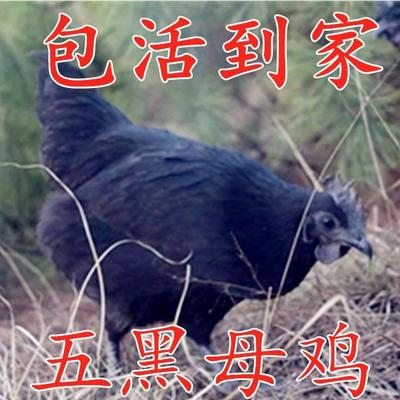 这是一张关于五黑鸡  2-3斤 公 母的2.5斤,的产品图片