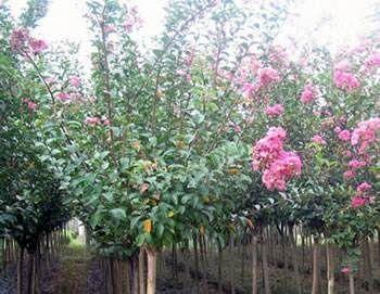 贵州省黔西南布依族苗族自治州普安县红花紫薇